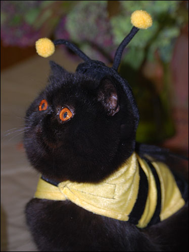 Black Bumble Bee >> Cats In Costume 2