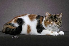 Black Classic Torbie with White