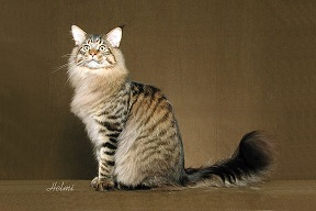 Black Mackerel Tabby