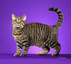 Black Mac Tabby