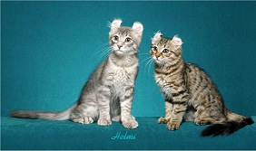 Blue & Black Mac Tabby