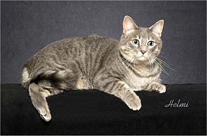Blue Mackerel Tabby