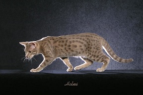 Blue Spotted Tabby