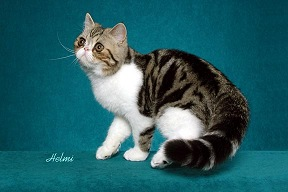 Black Classic Tabby with White