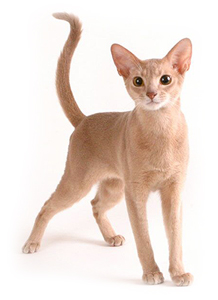 Abyssinian Cat Fawn
