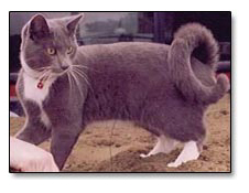 Image result for American Ringtail cat.