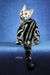 Silver Classic Tabby