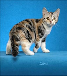 Silver Classic Torbie with White