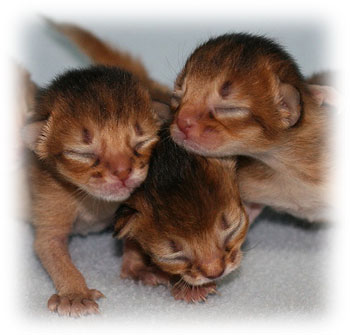 Tritrichomonas Foetus Our Cattery S Experience