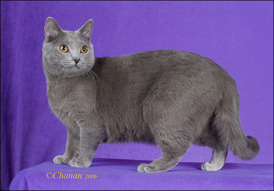 2f14887ed9 The Blue Breeds  The Chartreux