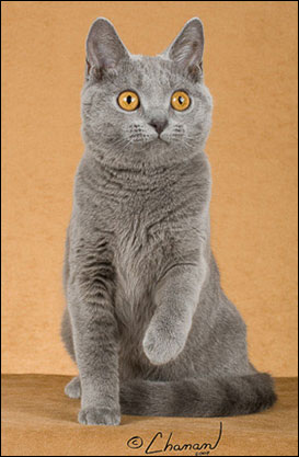 The Blue Breeds The Chartreux The Korat Amp The Russian Blue